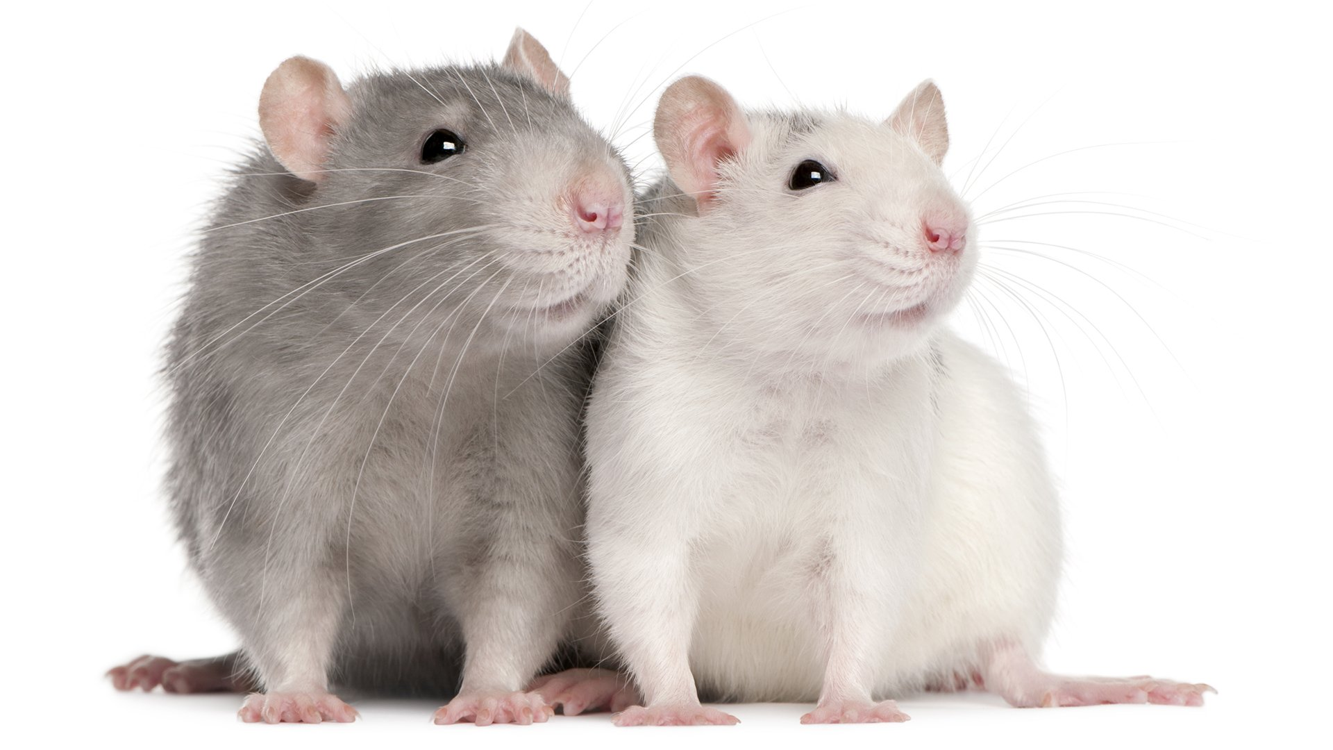 Two grey and white rats