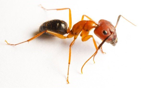 Learn about ants - Carpenter Ant