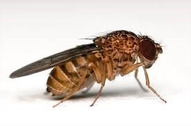 Dark Eyed Fruit Fly
