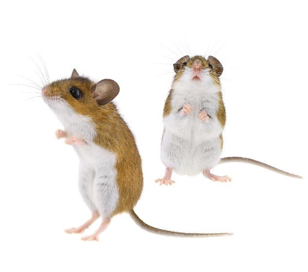 Learn About Mice - Deer Mice