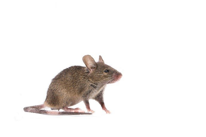 Learn About Mice - House Mouse