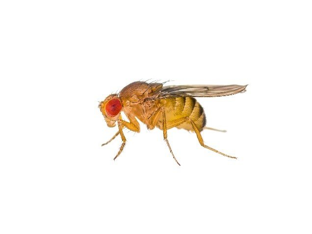 Red Eyed Fruit Fly