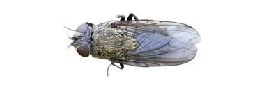 Learn About Flies - Cluster Fly